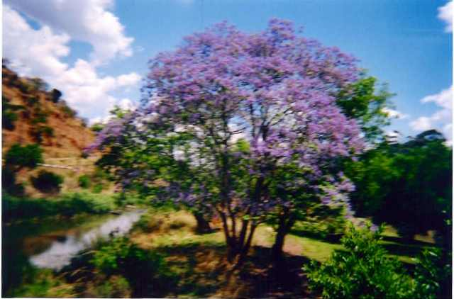 Jacaranda Tree, Mpumalanga, South Africa